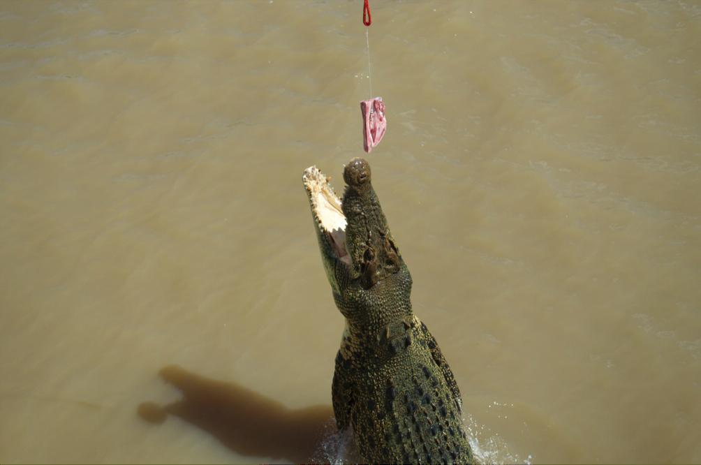Crocodile, Australia