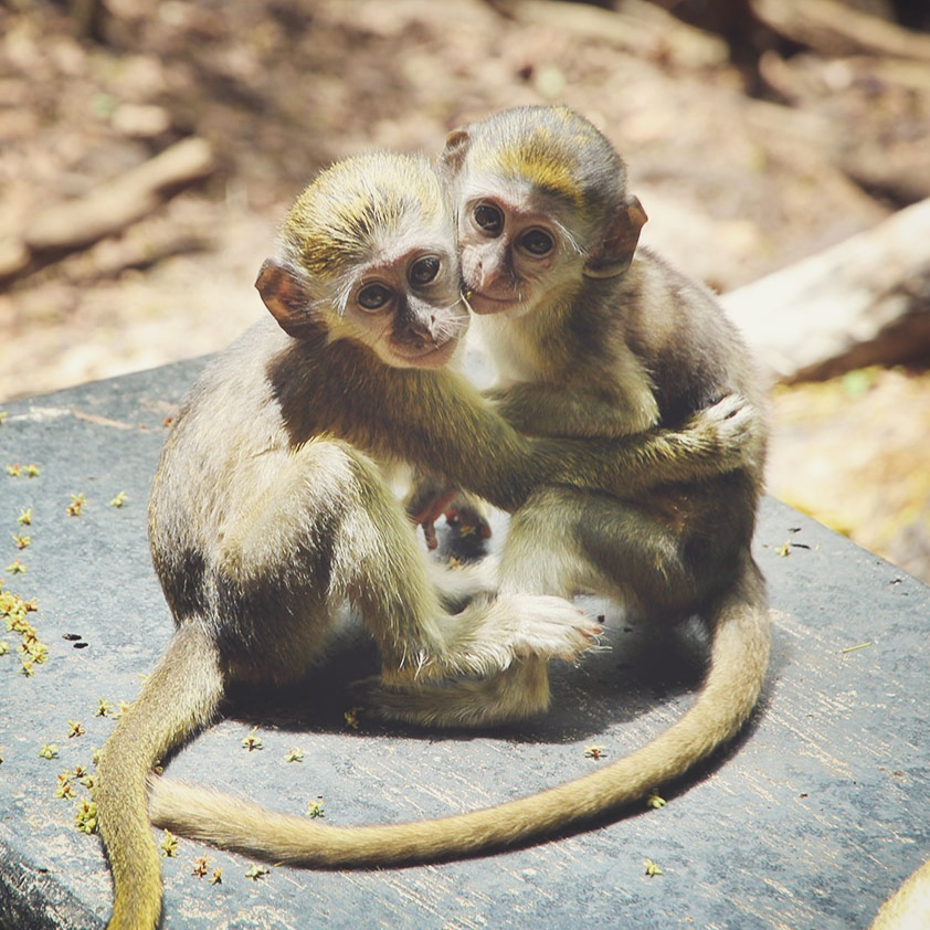 Green Monkeys, Barbados
