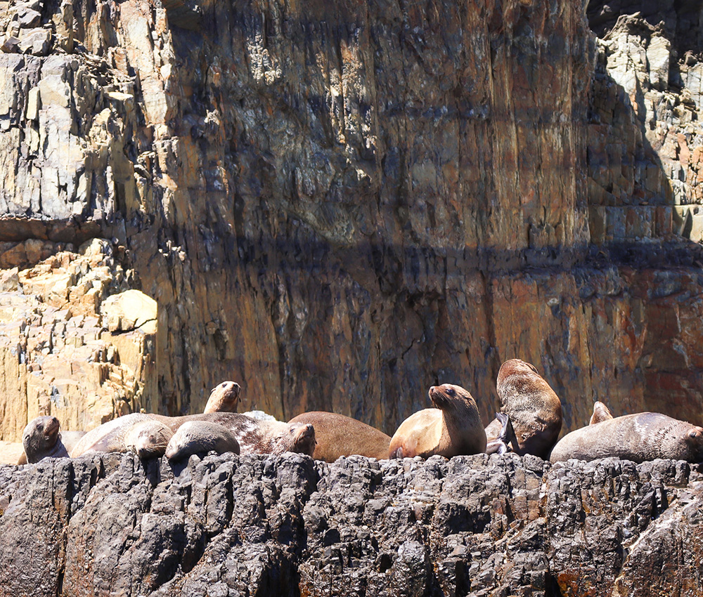 Seals on the Tasman Peninsula